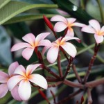 Apparently, these are Frangipani flowers!
